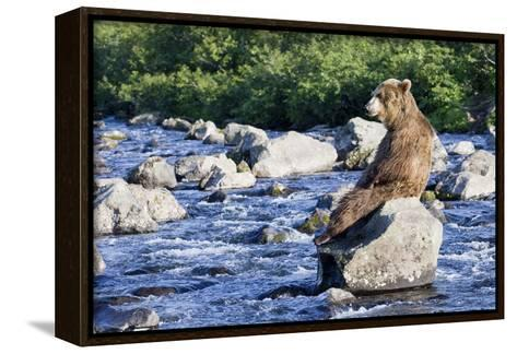 Brown Bear (Ursus Arctos) Sitting on Rock in River, Kamchatka, Russia-Sergey Gorshkov/Minden Pictures-Framed Canvas Print