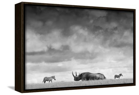 A White Rhino Lies in the Grass As Two Zebras Graze Behind-Robin Moore-Framed Canvas Print