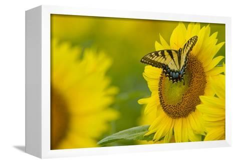 Portrait of an Eastern Tiger Swallowtail, Papilio Glaucus, on a Sunflower-Paul Sutherland-Framed Canvas Print