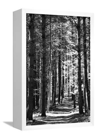 Tall Pine Trees Bordering a Forest Path-Amy & Al White & Petteway-Framed Canvas Print