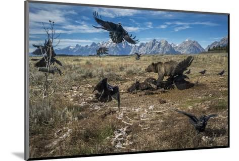 A grizzly bear fends off ravens to feed on a bison carcass.-Charlie Hamilton James-Mounted Photographic Print