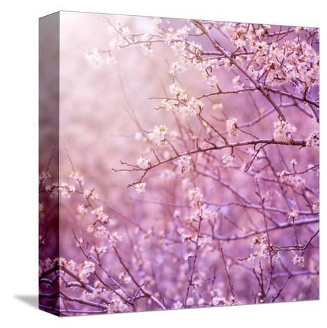 Beautiful Tender Cherry Tree Blossom in Morning Purple Sun Light-Anna Omelchenko-Stretched Canvas Print