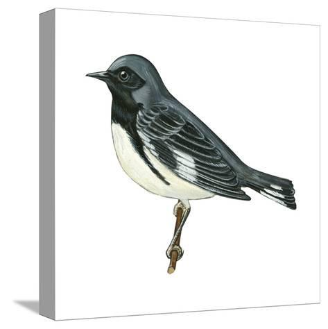 Black-Throated Blue Warbler (Dendroica Caerulescens), Birds-Encyclopaedia Britannica-Stretched Canvas Print