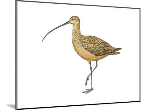 Long-Billed Curlew (Numenius Americanus), Birds-Encyclopaedia Britannica-Mounted Art Print