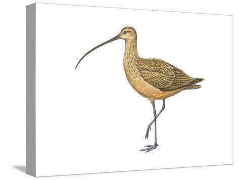 Long-Billed Curlew (Numenius Americanus), Birds-Encyclopaedia Britannica-Stretched Canvas Print