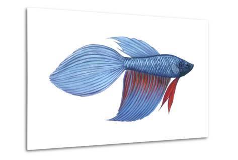 Betta (Betta Splendens), Fishes-Encyclopaedia Britannica-Metal Print