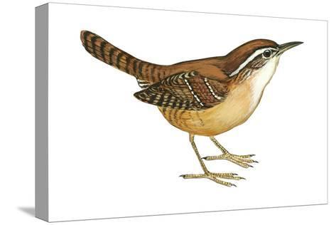 Carolina Wren (Thryothorus Ludovicianus), Birds-Encyclopaedia Britannica-Stretched Canvas Print