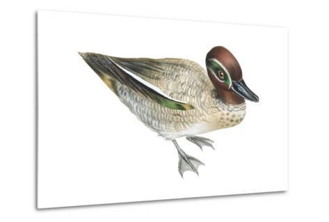 Green-Winged Teal (Anas Crecca), Duck, Birds-Encyclopaedia Britannica-Metal Print