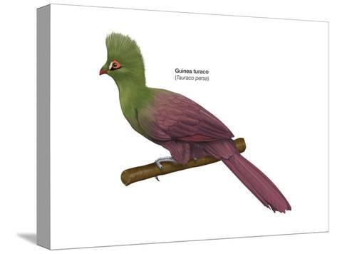 Guinea Turaco (Tauraco Persa), Birds-Encyclopaedia Britannica-Stretched Canvas Print