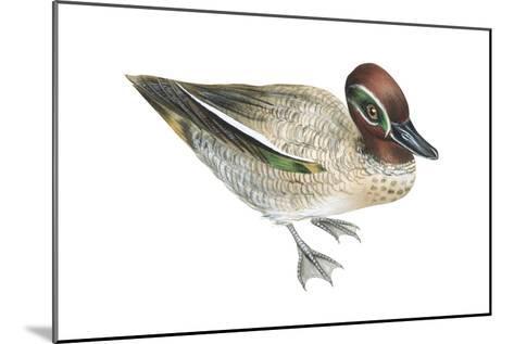 Green-Winged Teal (Anas Crecca), Duck, Birds-Encyclopaedia Britannica-Mounted Art Print