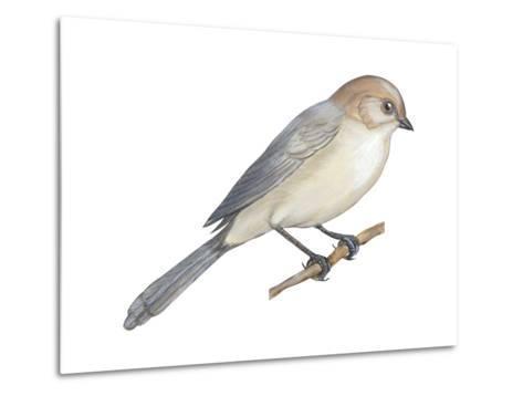 Bushtit (Psaltriparus Minimus), Birds-Encyclopaedia Britannica-Metal Print