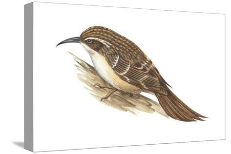 Creeper (Certhia Familiaris), Birds-Encyclopaedia Britannica-Stretched Canvas Print