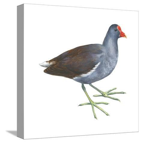 Florida Gallinule (Gallinula Chloropus), Birds-Encyclopaedia Britannica-Stretched Canvas Print