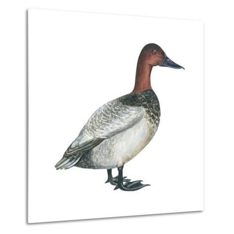 Canvasback (Aythya Valisineria), Duck, Birds-Encyclopaedia Britannica-Metal Print