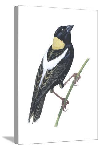 Bobolink (Dolichonyx Oryzivorus), Birds-Encyclopaedia Britannica-Stretched Canvas Print