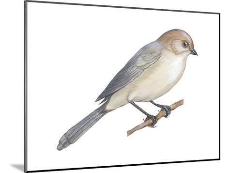 Bushtit (Psaltriparus Minimus), Birds-Encyclopaedia Britannica-Mounted Art Print