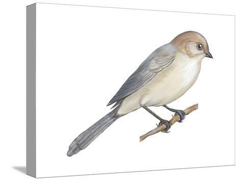 Bushtit (Psaltriparus Minimus), Birds-Encyclopaedia Britannica-Stretched Canvas Print