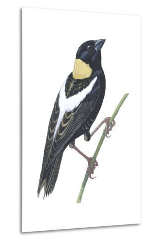 Bobolink (Dolichonyx Oryzivorus), Birds-Encyclopaedia Britannica-Metal Print
