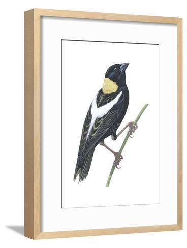 Bobolink (Dolichonyx Oryzivorus), Birds-Encyclopaedia Britannica-Framed Art Print