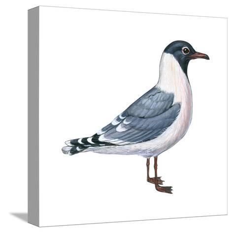 Franklin's Gull (Larus Pipixcan), Birds-Encyclopaedia Britannica-Stretched Canvas Print