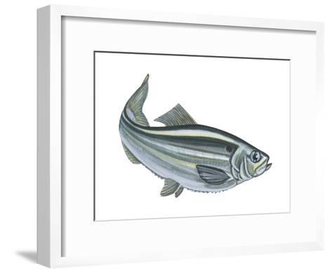Alewife (Pomolobus Pseudoharengus), Fishes-Encyclopaedia Britannica-Framed Art Print
