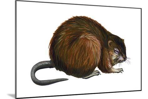 Muskrat (Ondatra Zibethica), Mammals-Encyclopaedia Britannica-Mounted Art Print