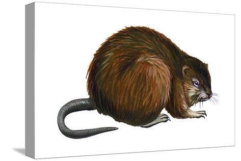 Muskrat (Ondatra Zibethica), Mammals-Encyclopaedia Britannica-Stretched Canvas Print