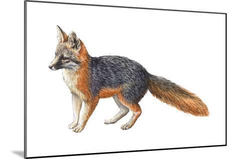 Gray Fox (Urocyon Cinereoargenteus), Mammals-Encyclopaedia Britannica-Mounted Art Print