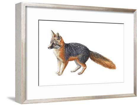 Gray Fox (Urocyon Cinereoargenteus), Mammals-Encyclopaedia Britannica-Framed Art Print