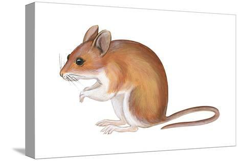 Golden Mouse (Peromyscus Nuttalli), Mammals-Encyclopaedia Britannica-Stretched Canvas Print