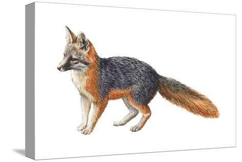 Gray Fox (Urocyon Cinereoargenteus), Mammals-Encyclopaedia Britannica-Stretched Canvas Print