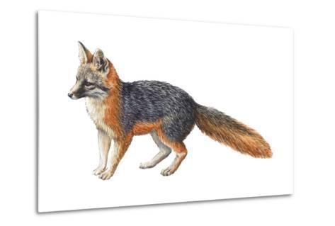 Gray Fox (Urocyon Cinereoargenteus), Mammals-Encyclopaedia Britannica-Metal Print