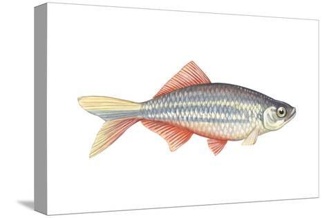 Giant Danio (Danio Malabaricus), Fishes-Encyclopaedia Britannica-Stretched Canvas Print