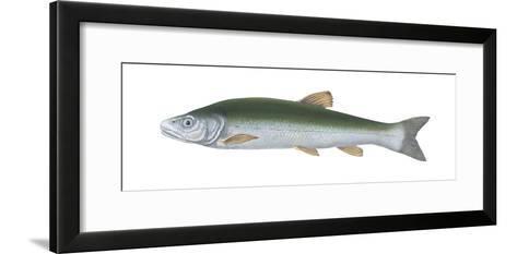Squawfish (Ptychocheilus Grandis), Fishes-Encyclopaedia Britannica-Framed Art Print