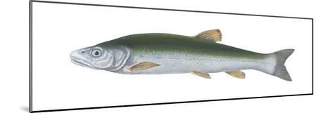 Squawfish (Ptychocheilus Grandis), Fishes-Encyclopaedia Britannica-Mounted Art Print