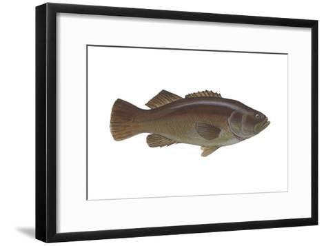 Giant Sea Bass (Stereolepsis Gigas), Fishes-Encyclopaedia Britannica-Framed Art Print