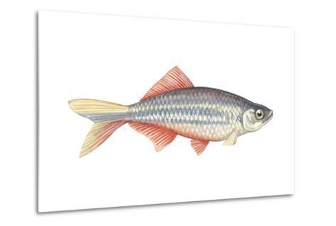 Giant Danio (Danio Malabaricus), Fishes-Encyclopaedia Britannica-Metal Print