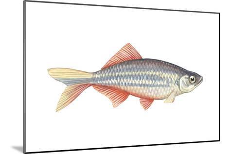 Giant Danio (Danio Malabaricus), Fishes-Encyclopaedia Britannica-Mounted Art Print