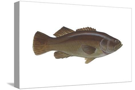 Giant Sea Bass (Stereolepsis Gigas), Fishes-Encyclopaedia Britannica-Stretched Canvas Print