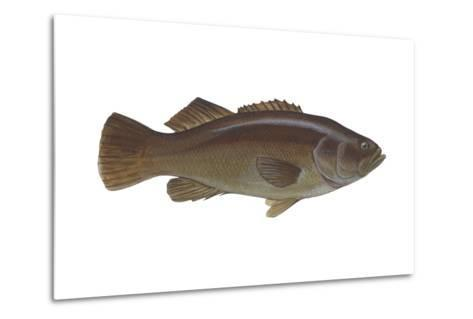 Giant Sea Bass (Stereolepsis Gigas), Fishes-Encyclopaedia Britannica-Metal Print