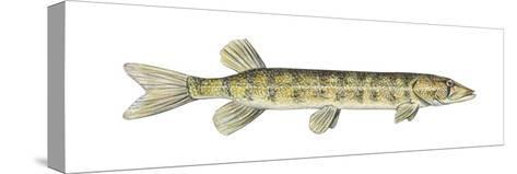 Grass Pickerel (Esox Americanus Vermiculatus), Fishes-Encyclopaedia Britannica-Stretched Canvas Print