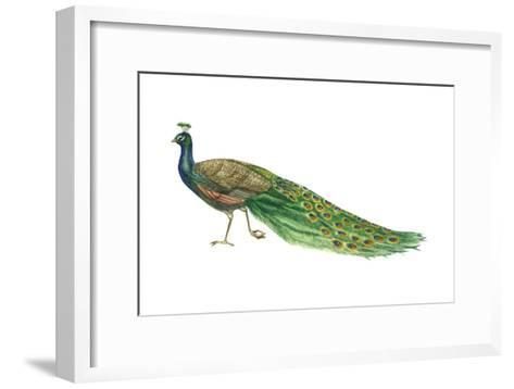 Blue or Indian Peafowl (Pavo Cristatus), Peacock, Birds-Encyclopaedia Britannica-Framed Art Print