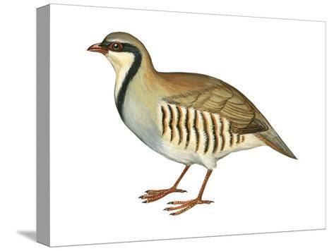 Chukar, Partridge (Alectoris Chukar), Birds-Encyclopaedia Britannica-Stretched Canvas Print