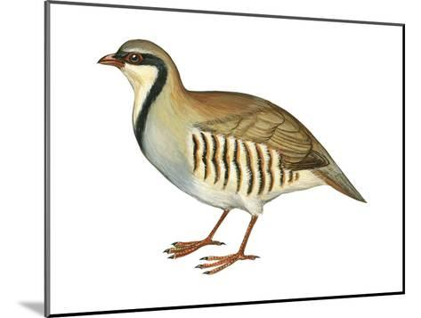 Chukar, Partridge (Alectoris Chukar), Birds-Encyclopaedia Britannica-Mounted Art Print