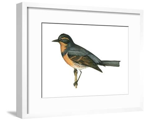 Varied Thrush (Ixoreus Naevius), Birds-Encyclopaedia Britannica-Framed Art Print