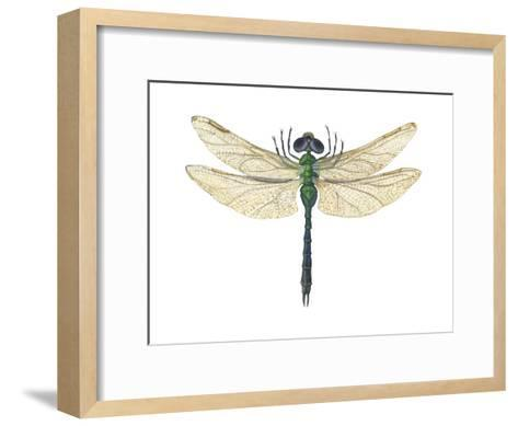 Green Darner Dragonfly (Anax Junius), Insects-Encyclopaedia Britannica-Framed Art Print