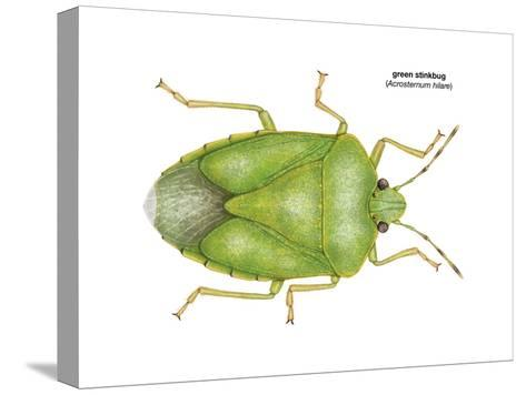 Green Stinkbug (Acrosternum Hilare), Insects-Encyclopaedia Britannica-Stretched Canvas Print