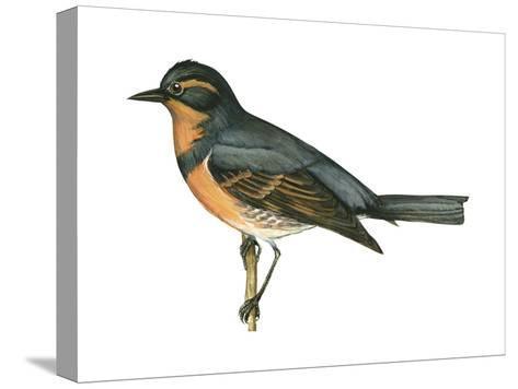 Varied Thrush (Ixoreus Naevius), Birds-Encyclopaedia Britannica-Stretched Canvas Print
