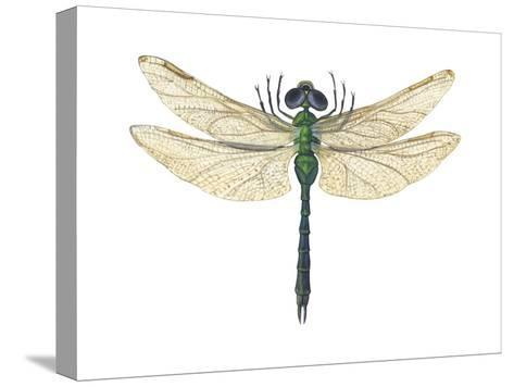 Green Darner Dragonfly (Anax Junius), Insects-Encyclopaedia Britannica-Stretched Canvas Print