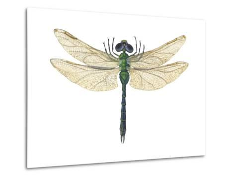 Green Darner Dragonfly (Anax Junius), Insects-Encyclopaedia Britannica-Metal Print
